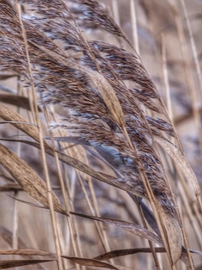 Reeds, Penny Sharman